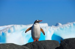 Croaziera in Antarctica - Pinguin